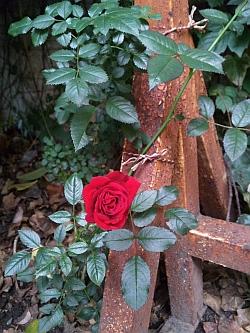 バイクタウンプラスのバラ